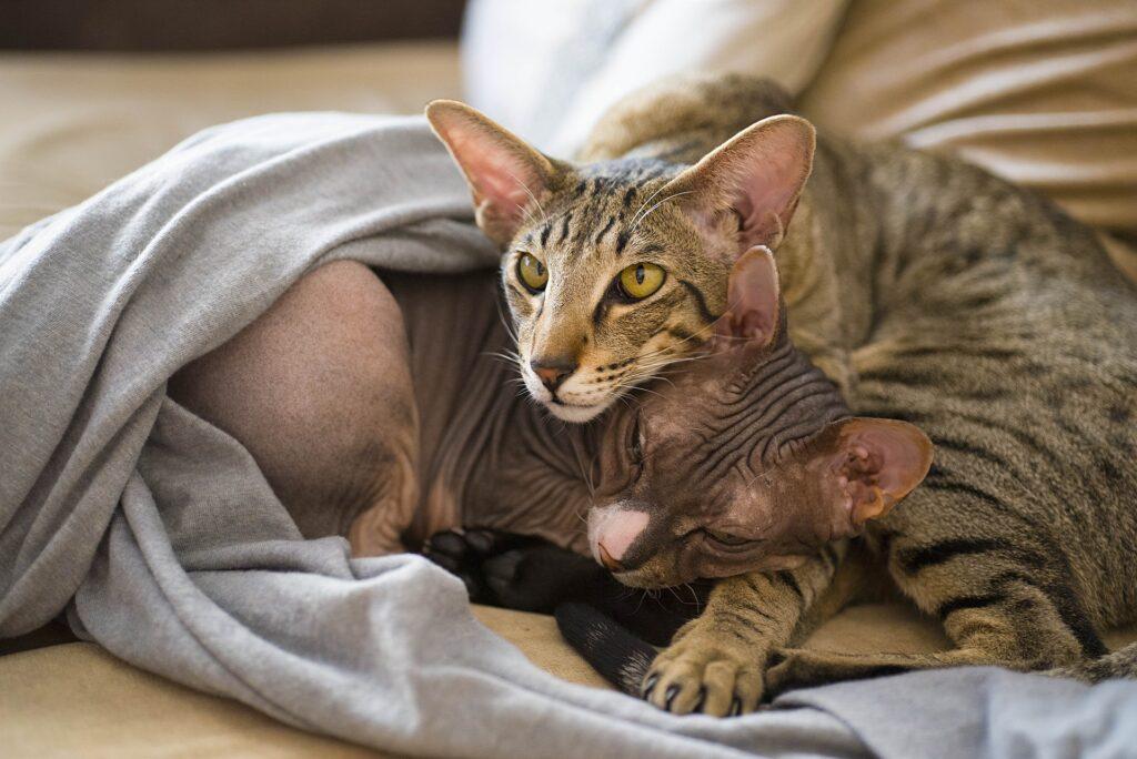 Sphynx se skvěle snese s dalšími kočkami a zvířaty.  Fotka od mrviktorzolotukhin z Pixabay.