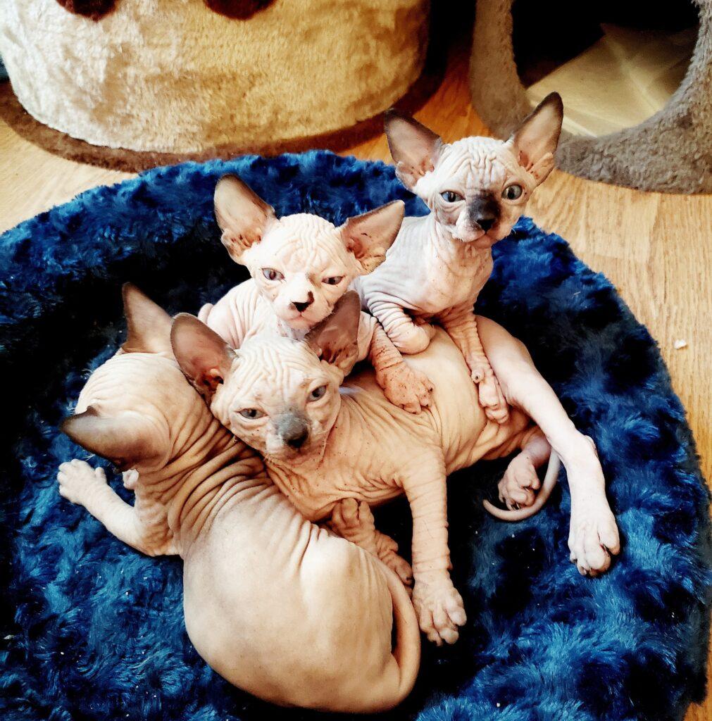 Kočky plemene Sphynx.  Fotka od mjlovesmm z Pixabay.